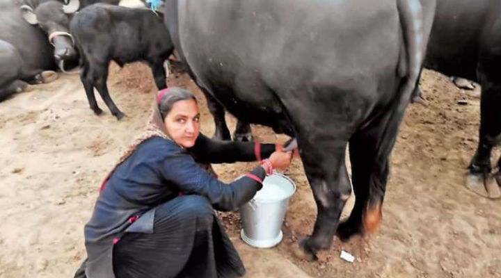 62-YO Gujarati Woman Opens Dairy At Home, Sells Rs 1 Crore Worth Of Milk In A Year